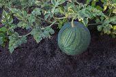Ripe Watermelon On A Plantation