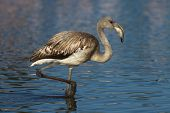 Young greater flamingo, phoenicopterus roseus, Camargue, France