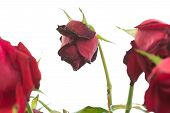 Wilted Roses On White Background