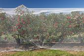 Apple Vines With Protective Nets On Them