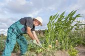 Farmer Working His Urban Vegetable Garden