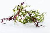 Seaweed Salad Mix