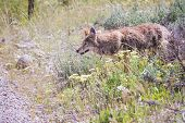 stock photo of coyote  - wild coyote hunting for breakfast in the prairie of the grand Teton national park in Wyoming - JPG