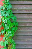 stock photo of bine  - Curly Parthenocissus on the background of a wooden fence with brick pillars - JPG