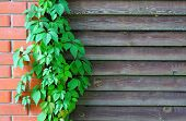 picture of bine  - Curly Parthenocissus on the background of a wooden fence with brick pillars