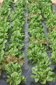 Leaf Lettuce Salad
