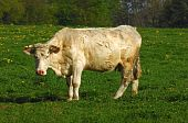 stock photo of charolais  - solitary Charolais cow standing on a pasture - JPG