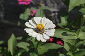 White Zinnia Flower