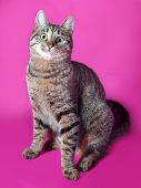 Tabby Cat Sitting On Pink