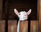 image of saanen  - Saanen nice beautiful white goat in barn - JPG