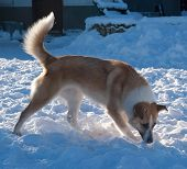 Red Dog With White Spots Sniffing Snow