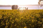 stock photo of rape  - Looking across a field of yellow rape flowers on a sunny summer evening - JPG