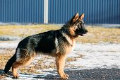 image of shepherd dog  - Beautiful Young Brown German Shepherd Puppy Dog Staying Outdoor In Spring - JPG