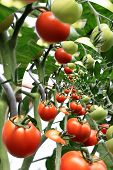 Tomatoes In The Greenhouse, Fitered