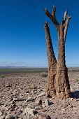 Dead Quiver Tree