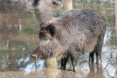Female Boar