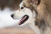 The Dog Of Malamute