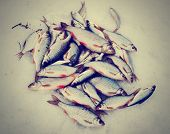 Fresh catch - a lot of fish, mainly roaches, on snow, toned picture