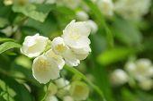 jasmine flowers on the bush closeup