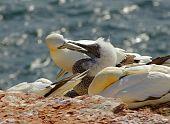 German Island Helgoland -  Northern Gannets