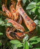 stock photo of tree snake  - A beautiful Corn Snake basks in the sunshine while coiled in a tree in a South Carolina forest edge - JPG