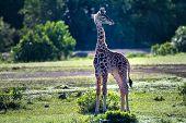 Giraffe Calf