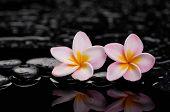 Zen stones and two frangipani