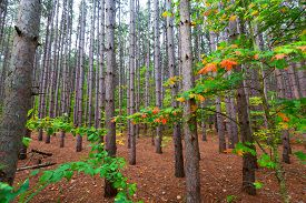 image of pine-needle  - A pine plantation within Sleeping Bear Dunes National Lakeshore grows tall and straight - JPG