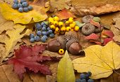 stock photo of acorn  - Background of leaves that are different colors and acorns - JPG