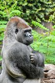 pic of gorilla  - Picture of a Strong Adult Black Gorilla - JPG