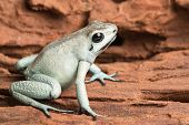 pic of exotic frog  - poison arrow frog - JPG
