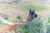 stock photo of andes  - Llama South American camelid which live in the high alpine areas of the Andes
