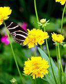 Butterfly - Zebra Longwing