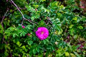 stock photo of wild-brier  - Single wild rose on the green bush - JPG