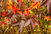 picture of elm  - Elm tree leaves in fall colours on the tree - JPG