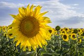 stock photo of sunflower  - Sunflower Species Helianthus annuus crop landscape Andalusia. Southern Spain. The sunflower is an annual plant grown as a popular crop for its edible oil and edible fruits.