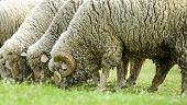 pic of eat grass  - Flock of sheep eating on green grass - JPG