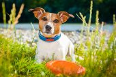 foto of jacking  - jack russell dog ready and begging to play with owner while lying on grass at the park river behind - JPG
