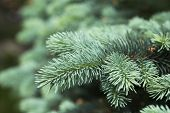 pic of blue spruce  - Blue spruce branches on a green background - JPG