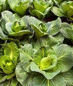 picture of nutrients  - View of nutrient cabbage plantation in the farm - JPG