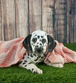 picture of snuggle  - Sweet Dalmatian puppy laying in the grass snuggled in a soft blanket with copy space - JPG
