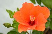 stock photo of hibiscus flower  - Hibiscus is a genus of flowering plants in the family Malvaceae - JPG