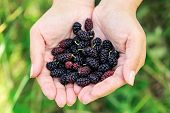 image of mulberry  - Ripe mulberries in the hands of the girl - JPG