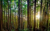 stock photo of redwood forest  - Color image of a redwood forest looking into the sun - JPG