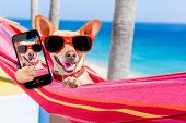 picture of selfie  - chihuahua dog relaxing on a fancy red hammock taking a selfie and sharing the fun with friends on summer vacation holidays - JPG