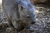 foto of wombat  - this is a close up of a common wombat  - JPG
