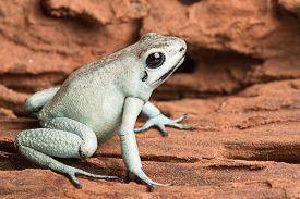 stock photo of poison arrow frog  - poison arrow frog - JPG