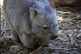 stock photo of wombat  - this is a close up of a common wombat