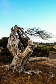pic of juniper-tree  - Gnarled Juniper Tree Shaped By The Wind at El Sabinar, Island of El Hierro ** Note: Soft Focus at 100%, best at smaller sizes - JPG