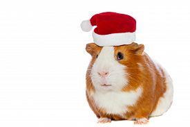 stock photo of pig  - Guinea pig wearing Santa - JPG